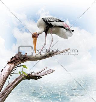 The Painted Stork (Mycteria leucocephala)