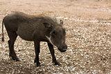 Juvinile warthog saw