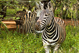 Alert Zebra