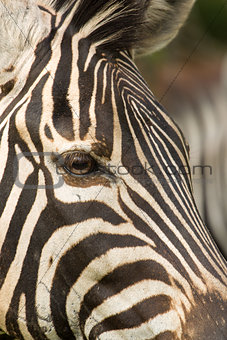 Alert Zebra close up on eye