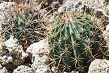 Thorny cactus plant 