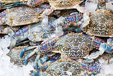 Blue crab