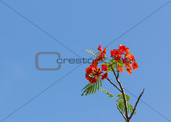 Flame tree blossom