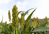 Sorghum