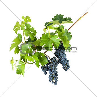 Blue grapes on branch