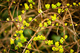 blooming spring yellow and green leaves on the branches
