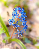 Scilla bifolia