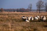 sheep in savanna