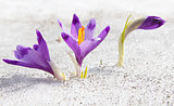 Three first spring crocuses