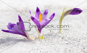 Three first spring crocuses