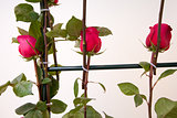 decoration of roses