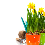 fresh daffodils and garden tools