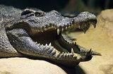 Siamese freshwater crocodile smiling
