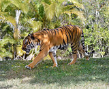 Walking Tiger