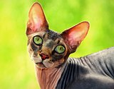 Sphynx hairless cat on a green background
