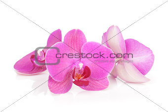 Three pink orchid flowers