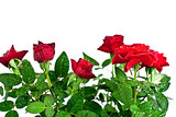 red roses with water drops