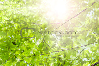 Green leaves and sunshine