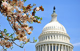 US Capitol in Magnolia bloom
