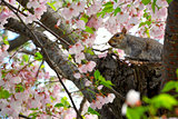 Squirrel and cherry blossoms