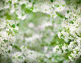 apple tree blossom frame very high resolution