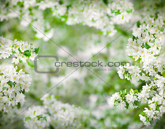 apple tree blossom frame very high resolution