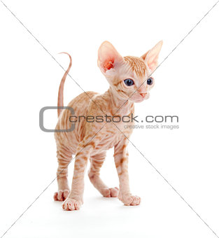 Funny hairless sphynx tabby kitten isolated