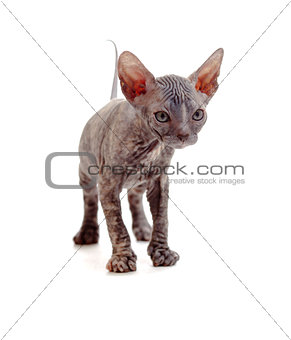 Funny hairless sphynx kitten isolated