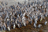 Large number of Magellanic penguins