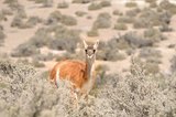 Guanaco