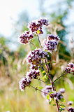 Oregano or marjoram - medicinal herb in the summer