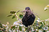 Female Blackbird (Turdus Merula) with nesting material in beak.