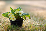 Primroses - Ready for Spring Planting &amp; Gardening?