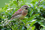 Cirl Bunting
