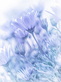 Tender daisy flowers