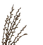 Branches of a willow on white background