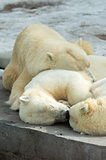 Polar bears family sleeping