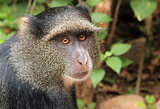 Blue Monkey Portrait