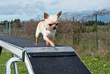 chihuahua and agility