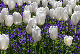 Bed of White Tulips