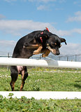 miniature pinscher in agility