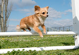 jumping chihuahua