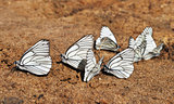 White butterflies on sand