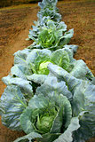 cabbage in line in the field