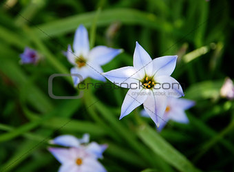 Beautiful blue and white spring starflowers