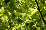 Canopy of green beech leaves