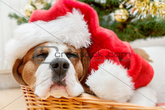 sleeping dog wearing Santa hat