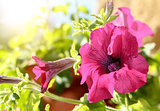 Pink flower Petunia Surfinia Vein