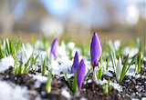 Crocuses in the Snow