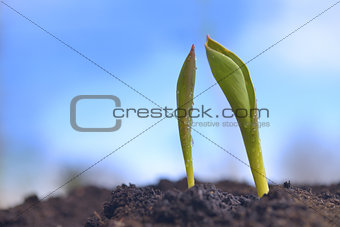 Green Sprouts Growing from Ground